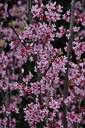 Texas Redbud (Cercis canadensis 'var. texensis') at New Garden Landscaping & Nursery