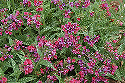 Raspberry Splash Lungwort (Pulmonaria 'Raspberry Splash') at New Garden Landscaping & Nursery
