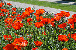 Brilliant Poppy (Papaver orientale 'Brilliant') at New Garden Landscaping & Nursery