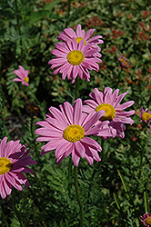 Robinson's Pink Painted Daisy (Tanacetum coccineum 'Robinson's Pink') at New Garden Landscaping & Nursery