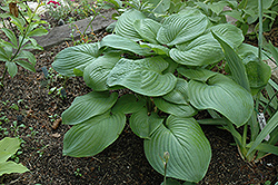 Fried Green Tomatoes Hosta (Hosta 'Fried Green Tomatoes') at New Garden Landscaping & Nursery