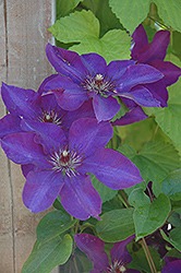 The President Clematis (Clematis 'The President') at New Garden Landscaping & Nursery