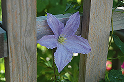 Blue Angel Clematis (Clematis 'Blue Angel') at New Garden Landscaping & Nursery