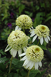 Coconut Lime Coneflower (Echinacea 'Coconut Lime') at New Garden Landscaping & Nursery