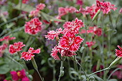 Strawberry Sorbet Pinks (Dianthus 'Strawberry Sorbet') at New Garden Landscaping & Nursery