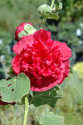Chater's Double Rose Pink Hollyhock (Alcea rosea 'Chater's Double Rose Pink') at New Garden Landscaping & Nursery