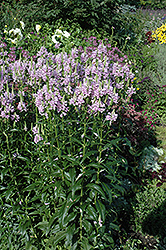 Obedient Plant (Physostegia virginiana) at New Garden Landscaping & Nursery