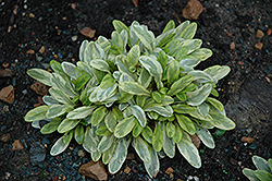 Toffee Chip Bugleweed (Ajuga reptans 'Toffee Chip') at New Garden Landscaping & Nursery