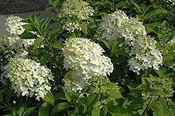 Little Lamb Hydrangea (Hydrangea paniculata 'Little Lamb') at New Garden Landscaping & Nursery