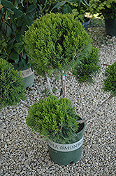 Mint Julep Juniper (pom pom) (Juniperus chinensis 'Mint Julep (pom pom)') at New Garden Landscaping & Nursery