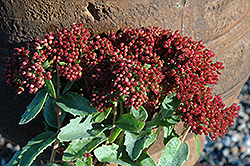 Munstead Dark Red Stonecrop (Sedum telephium 'Munstead Dark Red') at New Garden Landscaping & Nursery