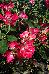 Pink Drift® Rose (Rosa 'Meijocos') at New Garden Landscaping & Nursery