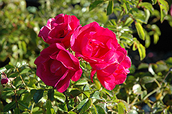 Flower Carpet Pink Rose (Rosa 'Flower Carpet Pink') at New Garden Landscaping & Nursery