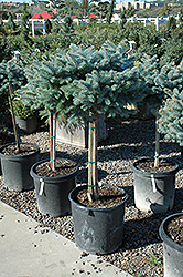 Globe Blue Spruce (tree form) (Picea pungens 'Globosa (tree form)') at New Garden Landscaping & Nursery