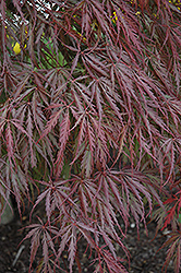 Tamukeyama Japanese Maple (Acer palmatum 'Tamukeyama') at New Garden Landscaping & Nursery