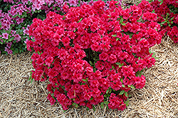Hershey's Red Azalea (Rhododendron 'Hershey's Red') at New Garden Landscaping & Nursery