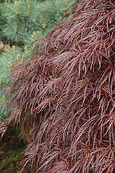 Red Select Cutleaf Japanese Maple (Acer palmatum 'Dissectum Red Select') at New Garden Landscaping & Nursery