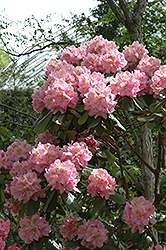 Scintillation Rhododendron (Rhododendron 'Scintillation') at New Garden Landscaping & Nursery