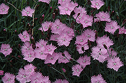 Bath's Pink Pinks (Dianthus 'Bath's Pink') at New Garden Landscaping & Nursery