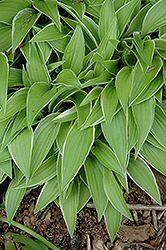 Lemon Frost Hosta (Hosta 'Lemon Frost') at New Garden Landscaping & Nursery