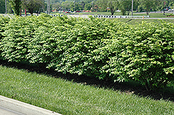 Cole's Compact Burning Bush (Euonymus alatus 'Cole's Compact') at New Garden Landscaping & Nursery