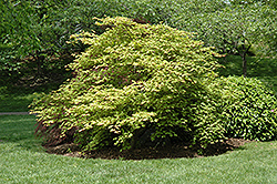 Tsuma Gaki Japanese Maple (Acer palmatum 'Tsuma Gaki') at New Garden Landscaping & Nursery