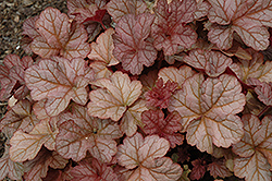 Pinot Gris Coral Bells (Heuchera 'Pinot Gris') at New Garden Landscaping & Nursery