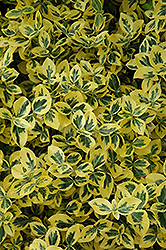 Emerald 'n' Gold Wintercreeper (Euonymus fortunei 'Emerald 'n' Gold') at New Garden Landscaping & Nursery