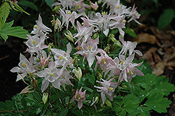 Biedermeier Pink Columbine (Aquilegia 'Biedermeier Pink') at New Garden Landscaping & Nursery
