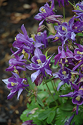 Biedermeier Blue Columbine (Aquilegia 'Biedermeier Blue') at New Garden Landscaping & Nursery