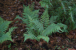 Dixie Wood Fern (Dryopteris x australis) at New Garden Landscaping & Nursery