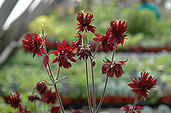 Ruby Port Double Columbine (Aquilegia vulgaris 'Ruby Port') at New Garden Landscaping & Nursery