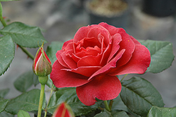 Hot Cocoa Rose (Rosa 'Hot Cocoa') at New Garden Landscaping & Nursery