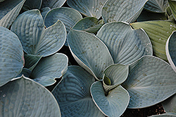 Love Pat Hosta (Hosta 'Love Pat') at New Garden Landscaping & Nursery