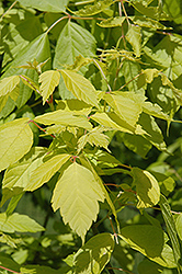Kelly's Gold Boxelder (Acer negundo 'Kelly's Gold') at New Garden Landscaping & Nursery