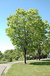 Green Vase Zelkova (Zelkova serrata 'Green Vase') at New Garden Landscaping & Nursery