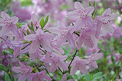 Mildred Mae Azalea (Rhododendron 'Mildred Mae') at New Garden Landscaping & Nursery