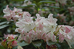 Elie Rhododendron (Rhododendron 'Elie') at New Garden Landscaping & Nursery