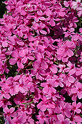 Red Wings Moss Phlox (Phlox subulata 'Red Wings') at New Garden Landscaping & Nursery