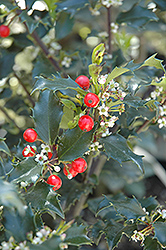 Berri-Magic Kids Meserve Holly (Ilex x meserveae 'Berri-Magic Kids') at New Garden Landscaping & Nursery