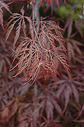 Red Select Japanese Maple (Acer palmatum 'Red Select') at New Garden Landscaping & Nursery