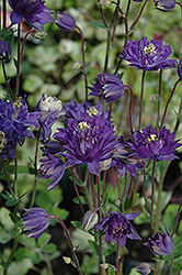 Clememtine Blue Columbine (Aquilegia vulgaris 'Clementine Blue') at New Garden Landscaping & Nursery