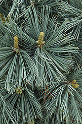 Extra Blue Limber Pine (Pinus flexilis 'Extra Blue') at New Garden Landscaping & Nursery