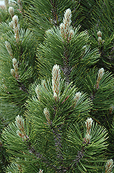 Mint Truffle Bosnian Pine (Pinus leucodermis 'Mint Truffle') at New Garden Landscaping & Nursery