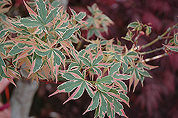 Beni Schichihenge Japanese Maple (Acer palmatum 'Beni Schichihenge') at New Garden Landscaping & Nursery