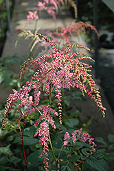 Ostrich Plume Astilbe (Astilbe x arendsii 'Ostrich Plume') at New Garden Landscaping & Nursery