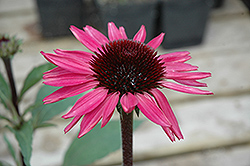 Big Sky After Midnight Coneflower (Echinacea 'Big Sky After Midnight') at New Garden Landscaping & Nursery