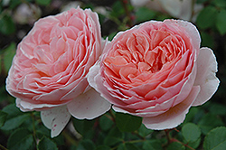 Abraham Darby Rose (Rosa 'Abraham Darby') at New Garden Landscaping & Nursery
