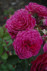 Ebb Tide Rose (Rosa 'Ebb Tide') at New Garden Landscaping & Nursery