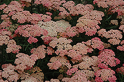 Apricot Delight Yarrow (Achillea millefolium 'Apricot Delight') at New Garden Landscaping & Nursery